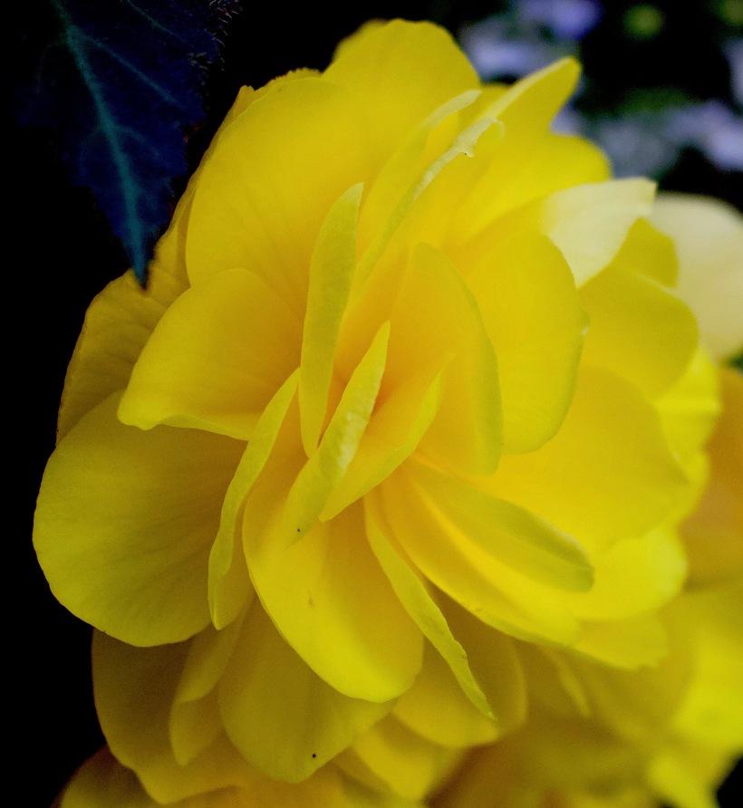 yellowpetals