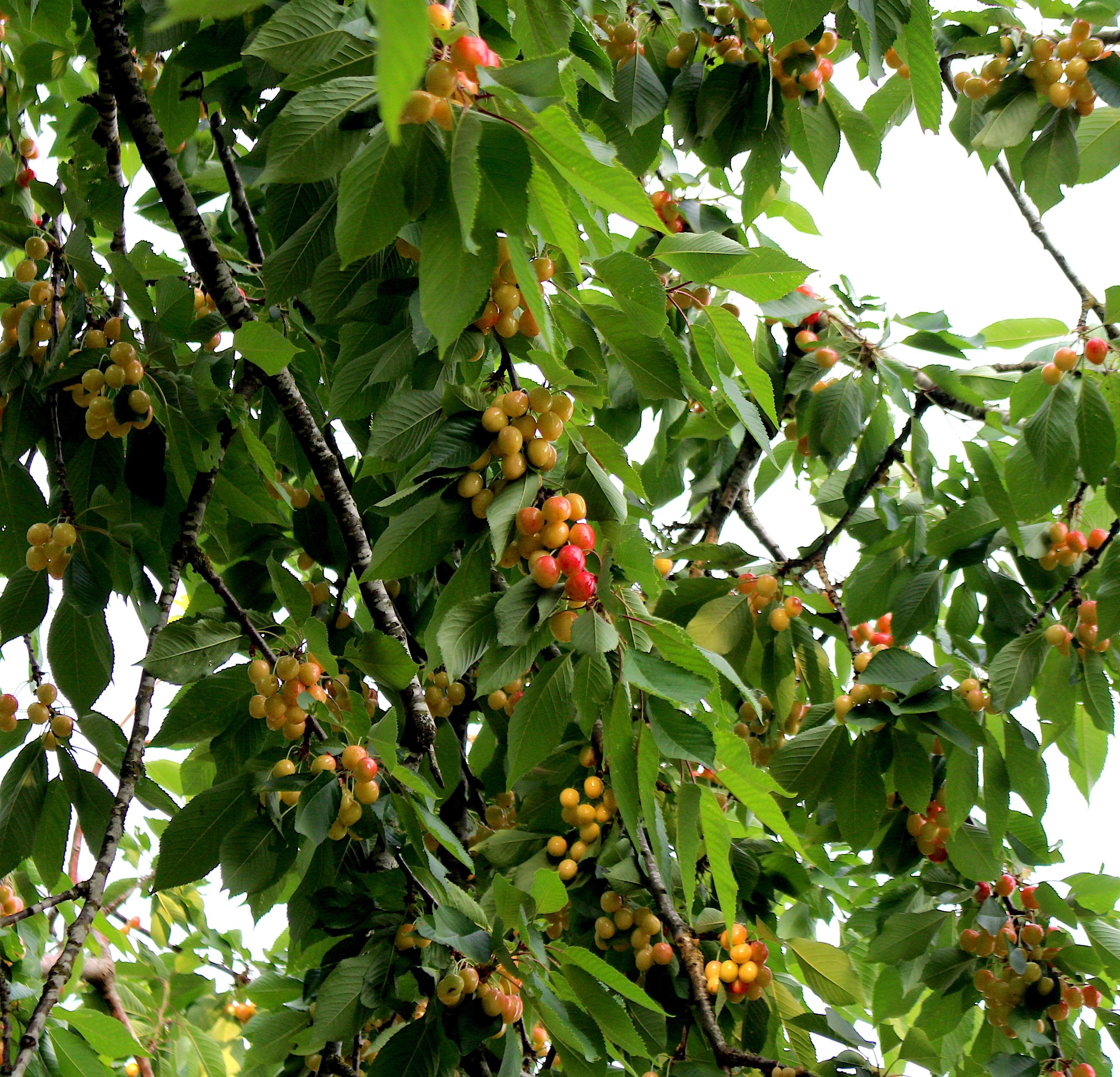 cherries20183