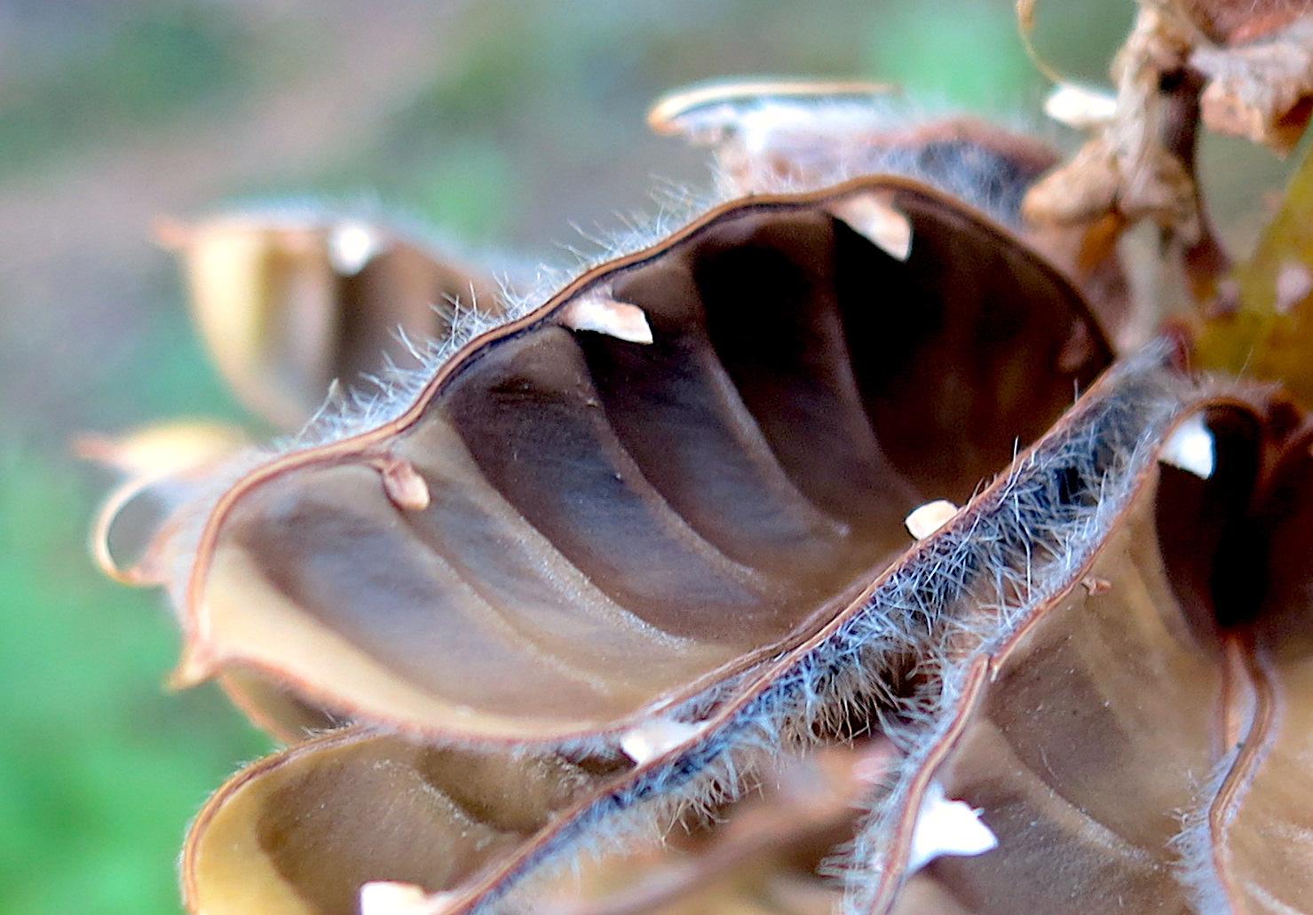 lupinpod