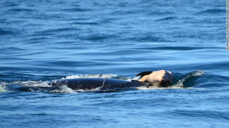 180727142642-killer-whale-orca-dead-baby-1-exlarge-169
