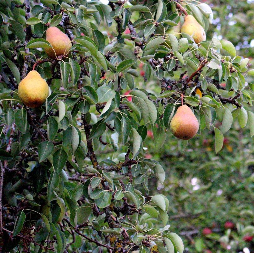 pears831183