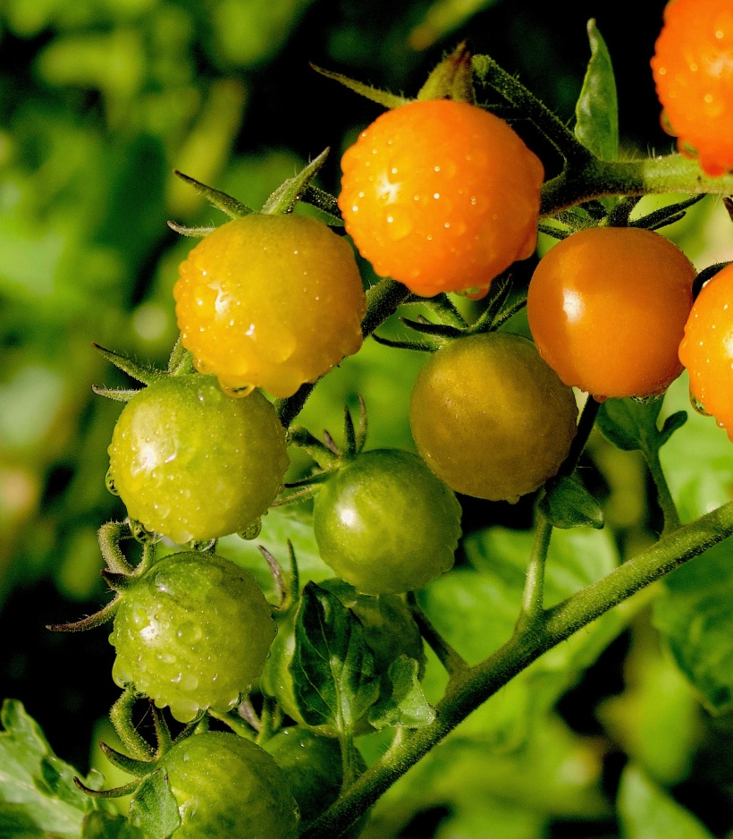raincherrytomatoes