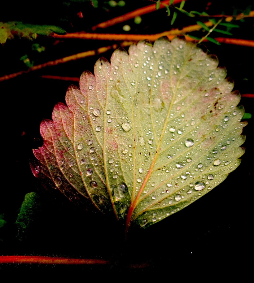 rainstrawberryleaf