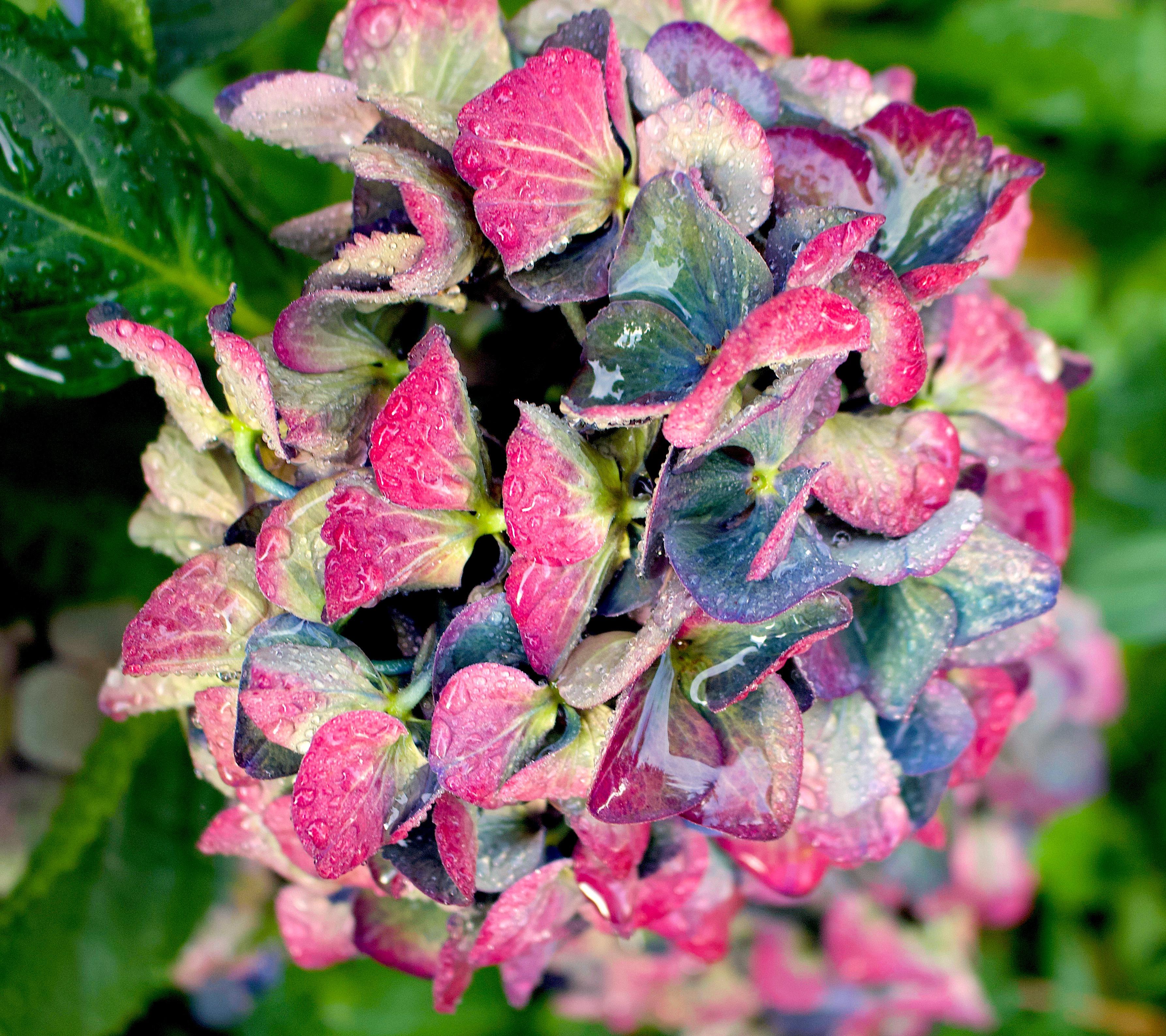 rainyhydrangea