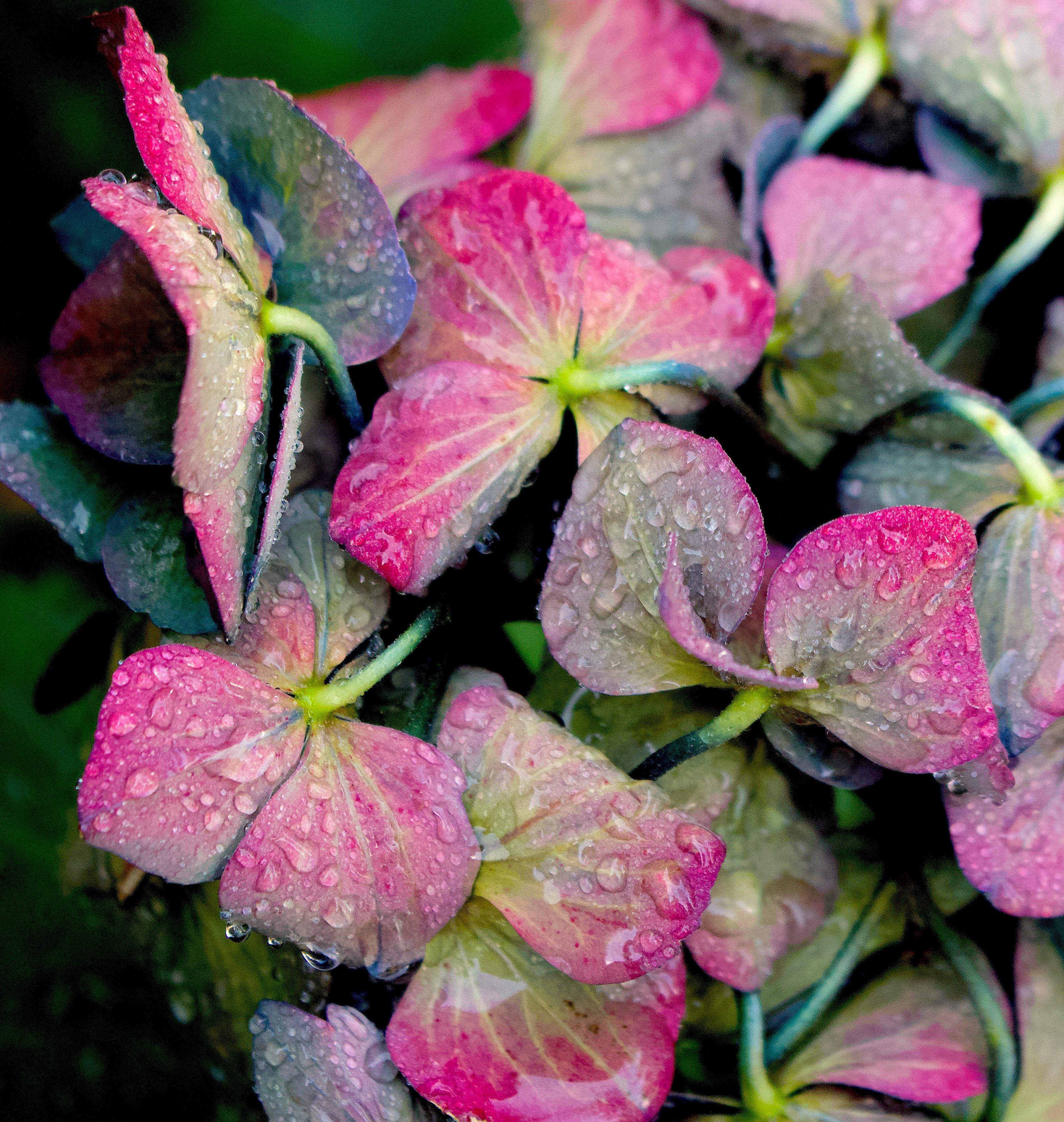 rainyhydrangea2