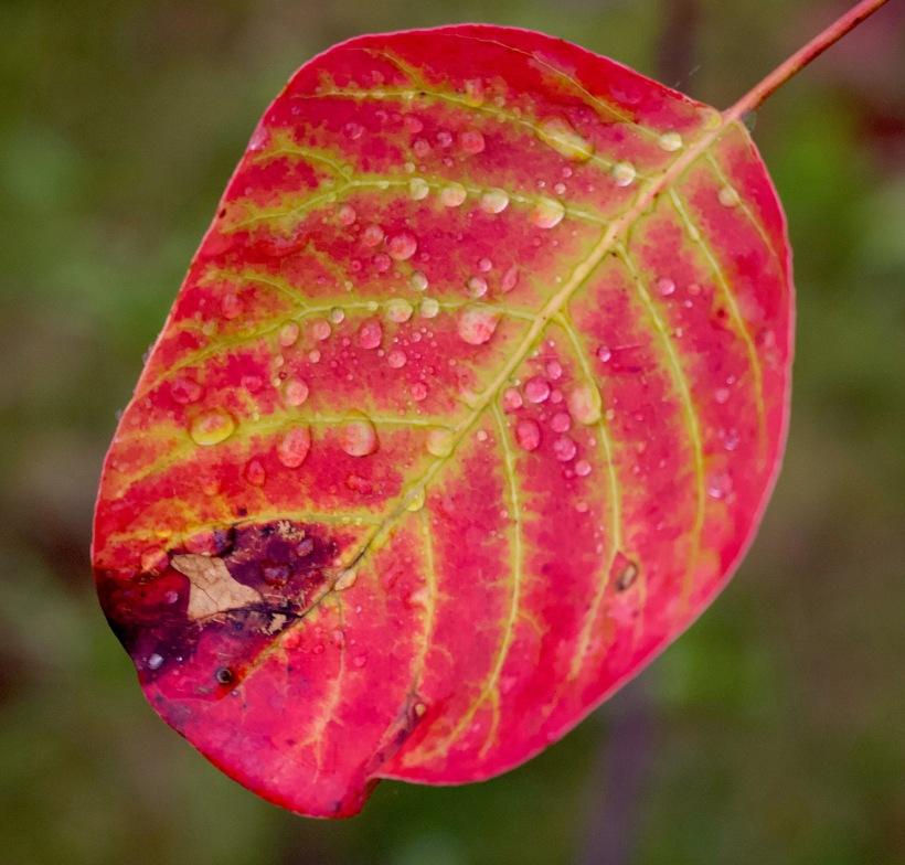 leafnov1