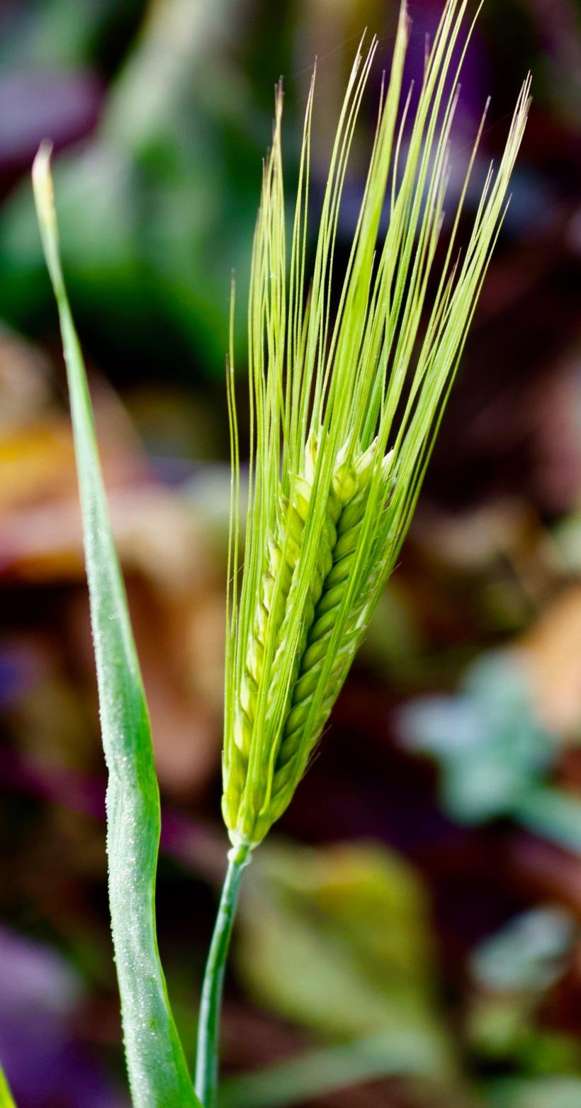 barleygarden22
